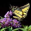 Swallowtail Butterfly and Butterfly Bush by K D Graves Photography