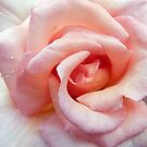 soft rose by jon  daly