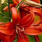 """Asiatic Lily """"Red Tiger"""" by Michael Cummings"""