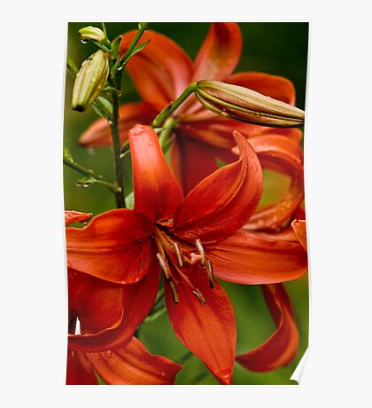 "Asiatic Lily ""Red Tiger"" Poster"