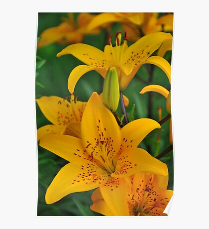 "Asiatic Lily ""Helios"" Poster"