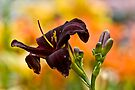"""Daylily """"Rootbeer"""" by Michael Cummings"""