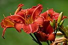 """Daylily """"Raging Wildfire"""" by Michael Cummings"""