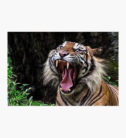 Tiger, Tiger Photographic Print