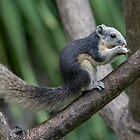 Asian Squirrel (pied) a by DonMc