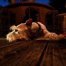 Sleepy Schnauzer  by Amanda Figueroa