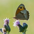 Meadow Brown Butterfly Backlite by DonMc