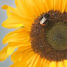 The Sunflower and the Bee by Stephen Knowles