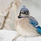 Blue Jay In Spring 2 by Michael Cummings