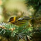Cap May Warbler by Michael Cummings