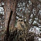 Great Horned Owl (Baby) by D R Moore