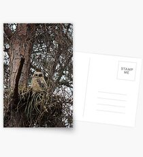 Great Horned Owl (Baby) Postcards
