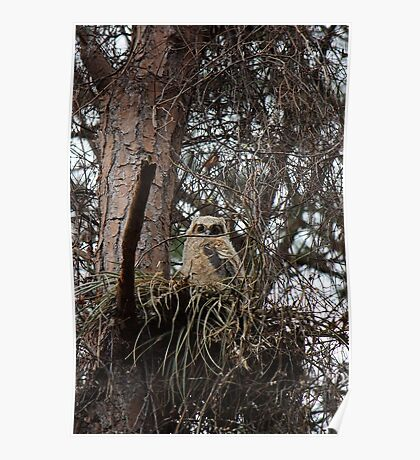 Great Horned Owl (Baby) Poster
