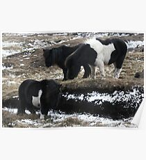 Shetlands and Snow Poster