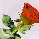Rose. by Vitta