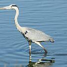 Grey Heron - WildAfrika by WildAfrika