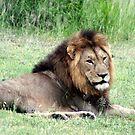 Lion Resting - WildAfrika by WildAfrika