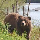 Grizzly near Bear River by Istvan Hernadi
