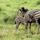 Zebra Mare and Foal - WildAfrika by WildAfrika