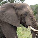 Elephant Portrait - WildAfrika by WildAfrika