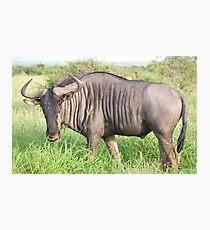 Wildebeest - WildAfrika Photographic Print