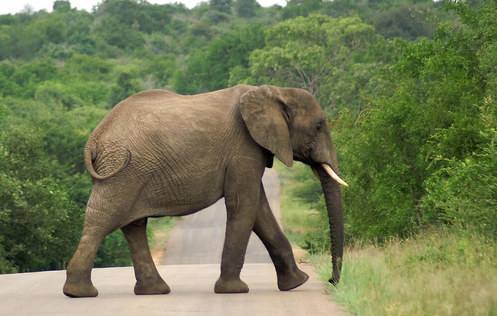 Elephant Walking - WildAfrika by WildAfrika