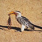 Souhern Yellow Hornbill - WildAfrika by WildAfrika