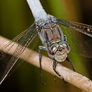 Blue Dragonfly by Samuel Gundry
