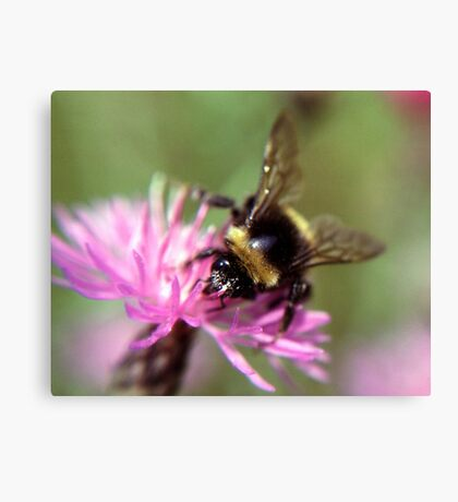 A bee Canvas Print