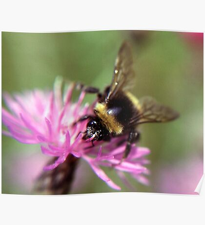 A bee Poster