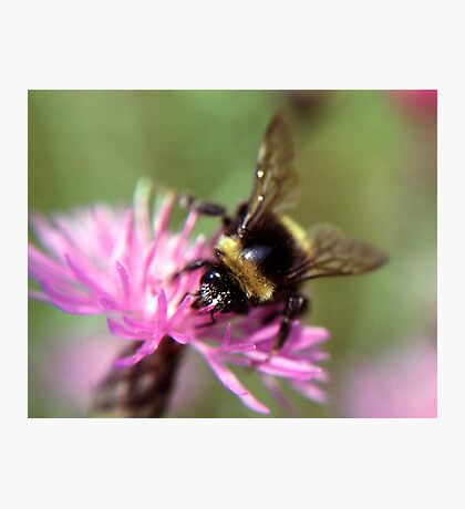 A bee Photographic Print