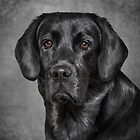 Drawing black Labrador  by bonidog