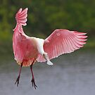 Roseate Spoonbill IV by SuddenJim