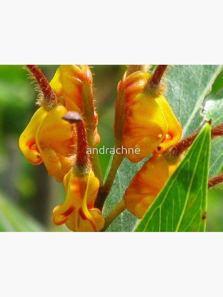 Grevillea Orange Marmalade by andrachne
