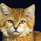 Siberian Sand Cat by Clive