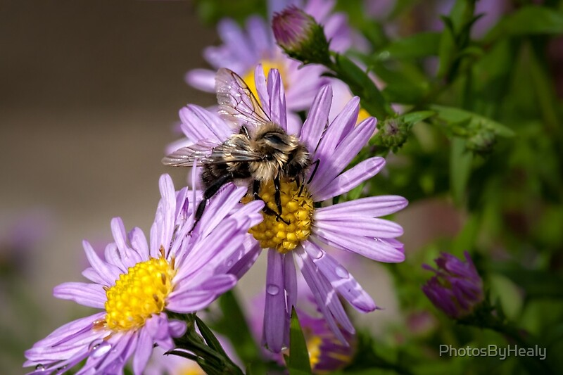 The Bee and the Aster by Photos by Healy