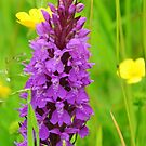 Marsh Orchid by Carla Maloco