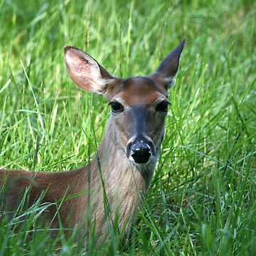 White-Tailed Doe by suddath