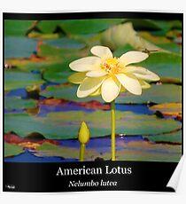 American lotus flower posters redbubble american lotus poster mightylinksfo