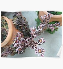 Blooming hens and chicks Poster