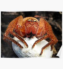 Spider with Egg Sac Poster