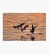 Black-headed gulls at sunset Photographic Print
