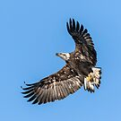 Bald Eagle 2019-1 by Thomas Young