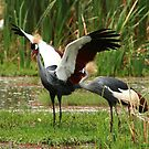 Grey Crowned Crane2 in Africa by maureenclark