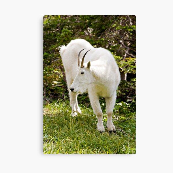 Mountain goat - Glacier National Park Canvas Print
