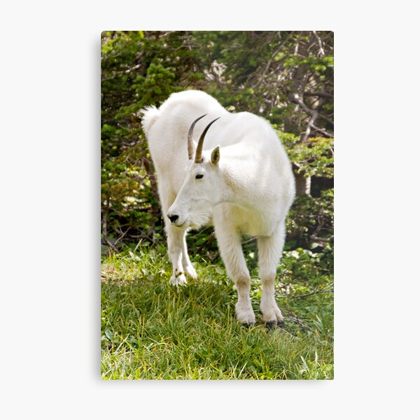 Mountain goat - Glacier National Park Metal Print