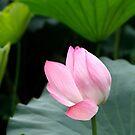Pink Water Lily Bud by May-Le Ng