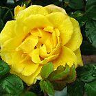Golden Rose Bejewelled by Kathryn Jones