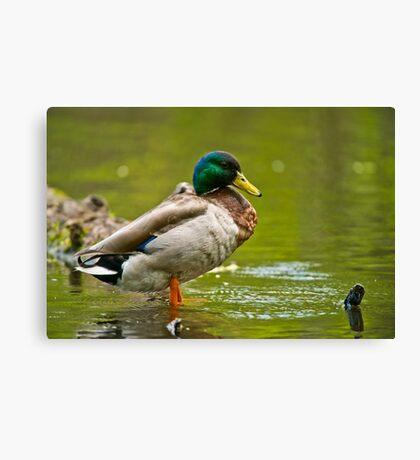 Proud As A ......Duck Canvas Print