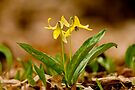 Dogs Tooth Lily - Erythronium by Michael Cummings